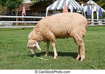 Sheep grazing in a field.