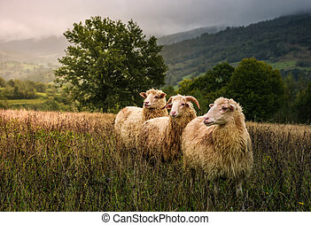 sheep grazing in a fog near old oak. beautiful scenery on...
