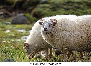 Sheep grazing in a meadow
