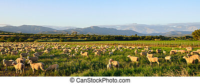 Sheep grazing in late afternoon sun near Oudtshoorn - Sheep...