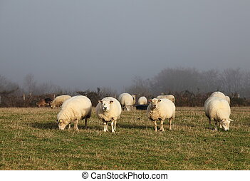 Sheep Grazing In Mist