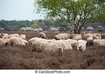 Sheep grazing in moorland - Sheep herd grazing in moorland...