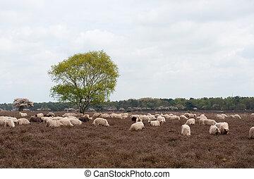 Sheep grazing in moorland