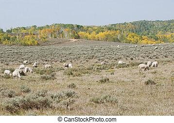 Sheep Grazing in Sagebrush