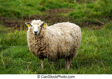 Sheep grazing in the green grass