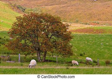 Sheep grazing in the meadow, Isle of Skye, Scotland