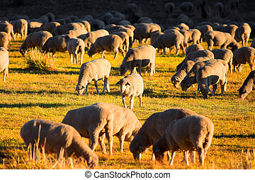Sheep grazing in the meadow