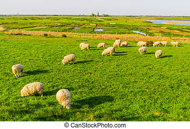 sheep grazing in the pasture of schakerloopolder in Tholen city, countryside landscape in Zeeland, The netherlands