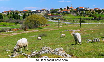 """sheep grazing in village on green grass, assos, canakkale, turkey"""