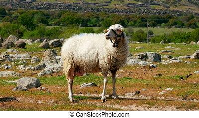 """sheep grazing in village on green grass, assos, canakkale, turkey"""