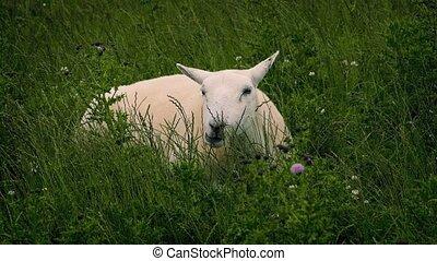 Sheep Grazing In Wild Field