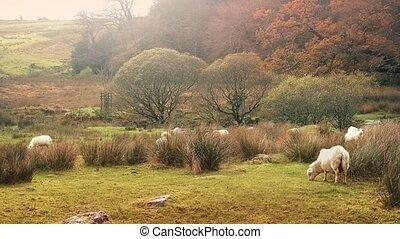 Sheep Grazing In Wild Meadow