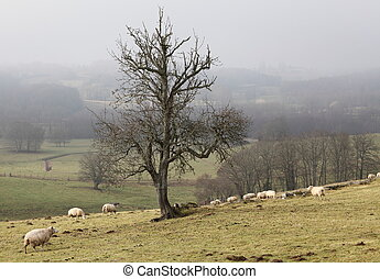 Sheep Grazing In Winter Mist