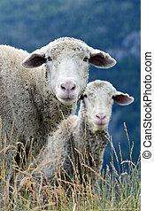 Sheep grazing mountain grass.