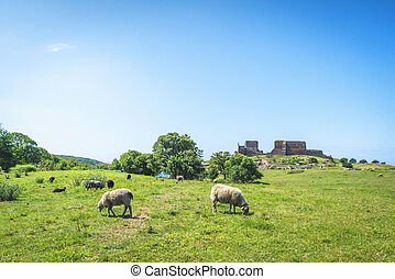 Sheep grazing on a green meadow in the summer
