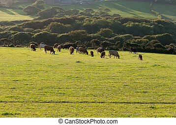 sheep grazing on a meadow at Lands End in Cornwall