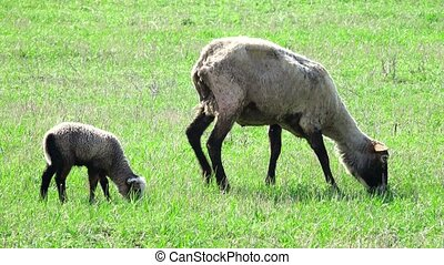 sheep grazing on a meadow