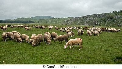 Sheep grazing on a meadow, on a cloudy day