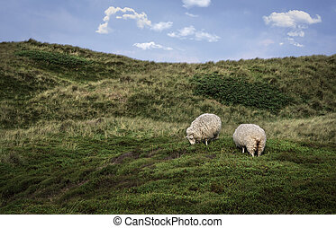 Sheep grazing on dunes with moss on Sylt island - Frisian ...