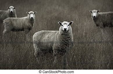 sheep grazing on green meadow