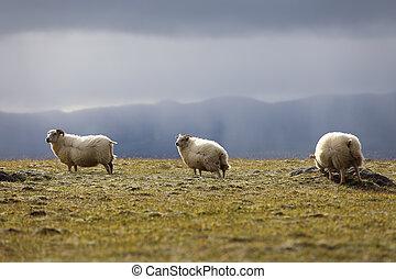 Sheep grazing on high meadows