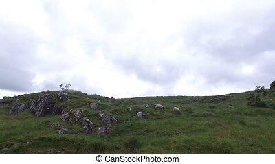 sheep grazing on hills of connemara in ireland 16