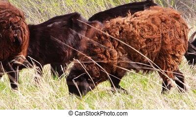 Sheep grazing on meadow.
