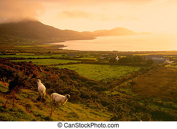 sheep grazing on Ring Of Kerry as fog drifts over mountains from the sea