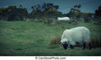 Sheep Grazing On Rugged Windy Hill - Ewe grazes as her lamb...