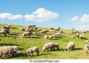 Sheep grazing on the dike in spring in Northern Germany