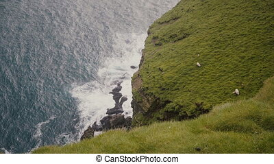 Sheep grazing on the field. Top view of a sea, wave splashing against the black rocks, mountain covered moss in Iceland