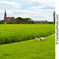 Sheep Grazing Outskirts of Dutch Town