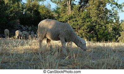 Sheep grazing pasture videos