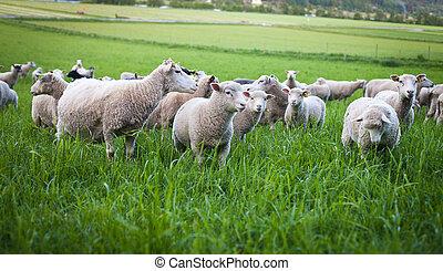 sheep, gregge