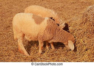 sheep, haystack