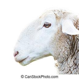 Sheep head - side view of sheep head on white