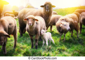 Sheep herd with newborn baby sheep at green field