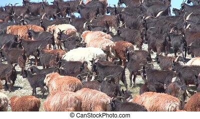 Sheep herd grazing on the green field