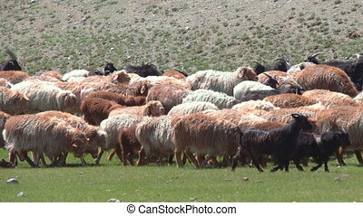 Sheep herd grazing on the green field
