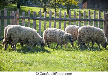 Sheep herd in summer meadow