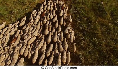 Sheep herd is moving.