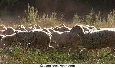 Sheep herd is walking. Animals on grassland. Good conditions...