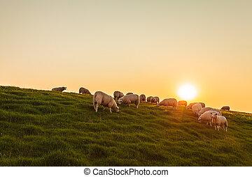 Sheep herd on a Dutch dike during sunset