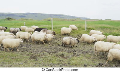 Sheep herd on grass in beautiful Iceland nature landscape. SLOW MOTION RED EPIC.