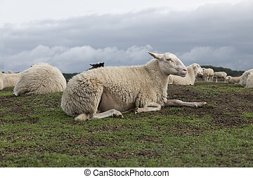 Sheep herd on heather land in Ede Holland