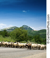 Sheep herd