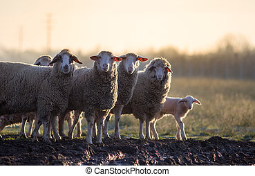 Sheep herd walking on farmland