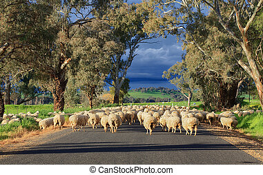 Herding sheep along a country road in rural Central West NSW at Greenethorpe