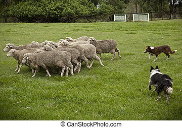 Two Australian sheep dogs hard at work