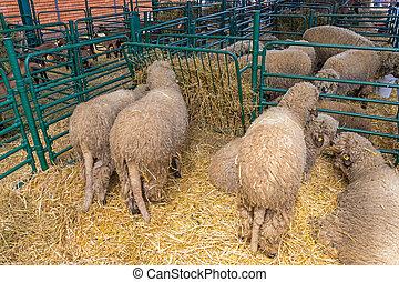 Sheep Husbandry - Wooly Sheep in Husbandry at Animal Farm